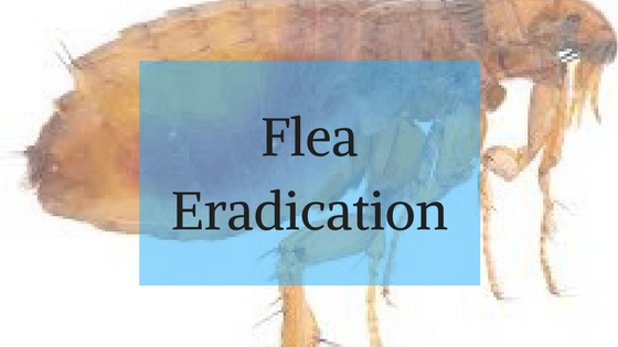 Flea Eradication Services from The Wirral Carpet Cleaner